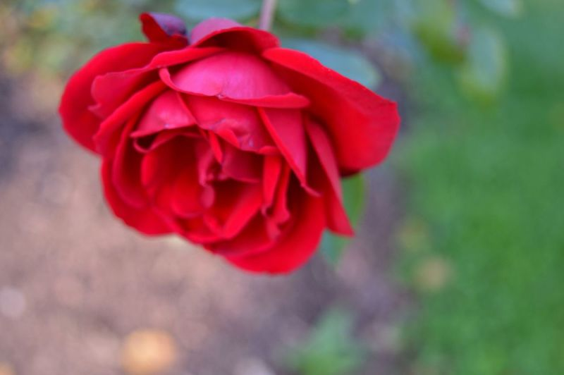 What a smell!!! Macro Macro Photography Macro Beauty Nature Outdoors Nikon D3200 Nikon Photography Flower Head Flower Red Petal Rose - Flower Pedal Close-up Blooming Plant Rosé In Bloom Rose Petals Single Rose Botany