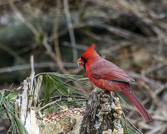 The northern cardinal is the state bird of both Ohio and Indiana. A very beautiful redbird, and a very common sight. Animal Themes Bird Animal Animal Wildlife Animals In The Wild Perching Cardinal - Bird Day Nature Red Tree Plant Outdoors Branch Male Animal Profile View Cardinalis Cardinalis Nature Feathers Avian Colorful Ornithology  Crested Beauty In Nature Birdwatching Wall Art Home Decor Wall Decoration Office Decor Natural Light Natural World Natural Beauty