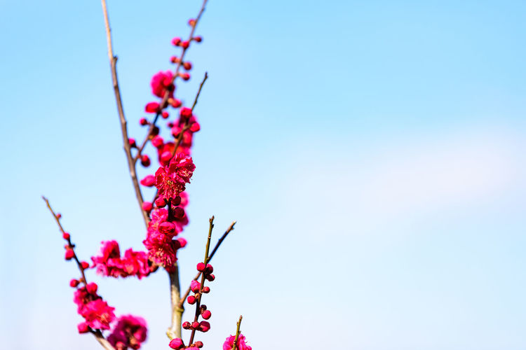 Plant Low Angle View Flower Growth Sky Nature Beauty In Nature Flowering Plant Fragility No People Day Vulnerability  Freshness Pink Color Blue Close-up Red Outdoors Copy Space Selective Focus