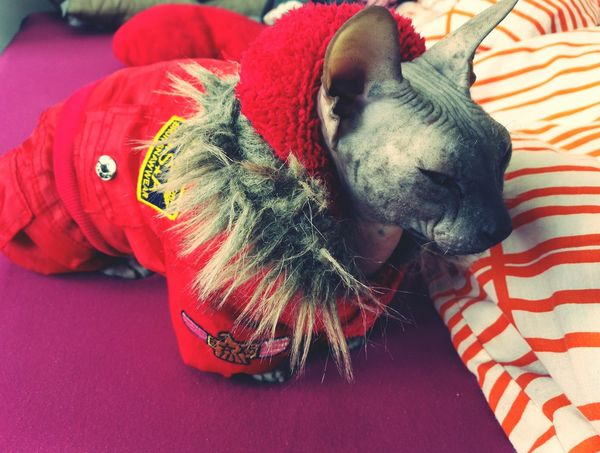 Ready for winter ❄⛄☃ Red Close-up Domestic Animals Animal Themes No People One Animal My Year My View Cat Pet Photography  Don Sphynx Erwin Travel Photography Millennial Pink Pet Portraits