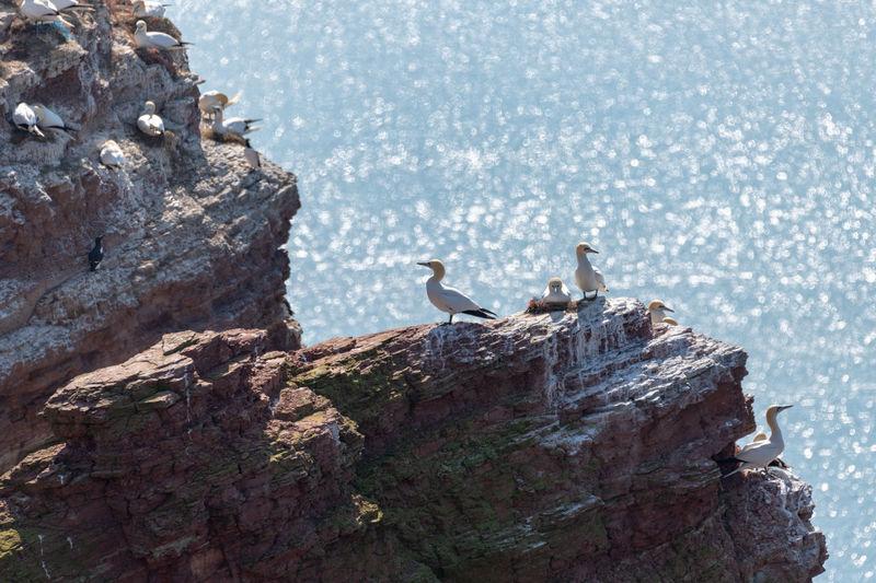 Birds perching on rock in a colony morus bassanus