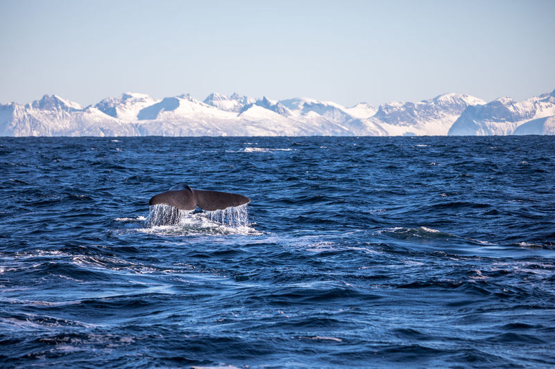 Scenic view of whale in sea against clear sky