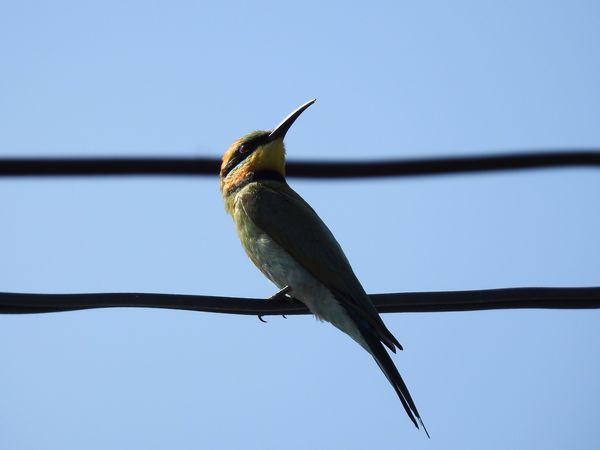 EyeEm Selects Rainbow Bee Eater One Animal Bird Animal Themes Animals In The Wild Animal Wildlife Perching Clear Sky Outdoors No People Day Low Angle View Nature Sky Close-up