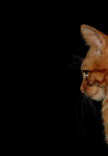 Tiger Animal Pets Cats Red Cat Beautiful Cute Kitten