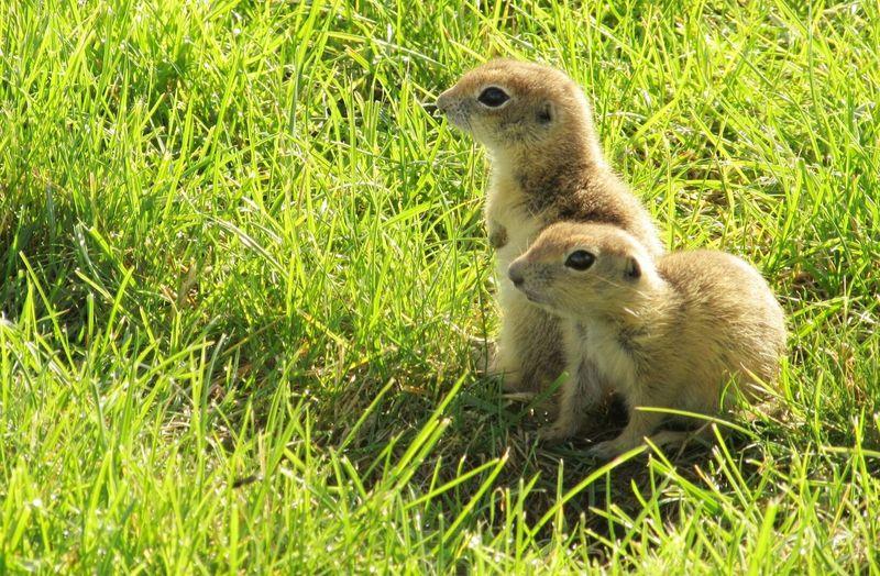 Squirrels on grassy field
