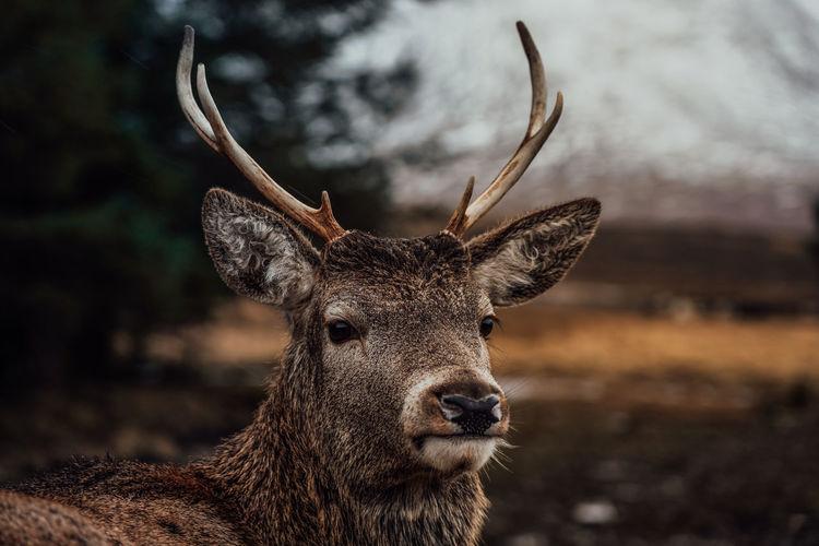 Deer in rannoch moor in scotland in mountains nature