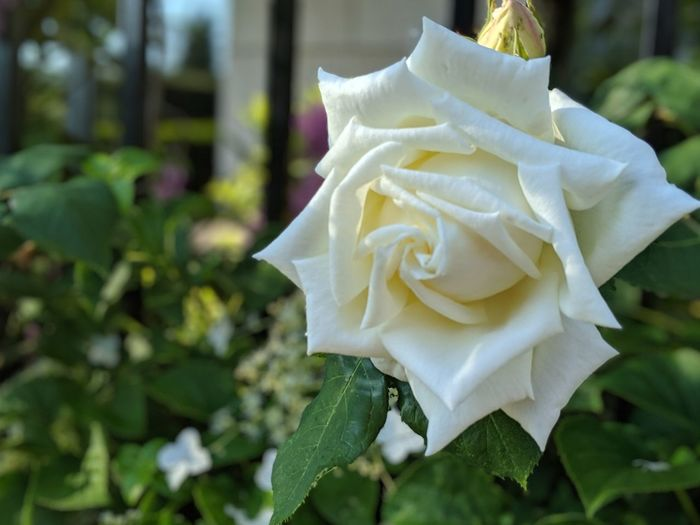 I never promised you a rose garden Fence With A Plant White Flower Roses White Rose In Bloom Fencs Flower Head Flower Leaf Petal Rose - Flower Close-up Plant Plant Life Flowering Plant In Bloom Botany Blooming