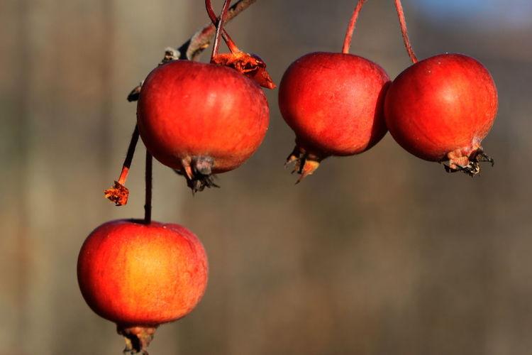100mm Macro Apple Field Apples Close-up December 2015 Focus On Foreground Fruit Parcines,sudtirol Red Selective Focus Wintertime