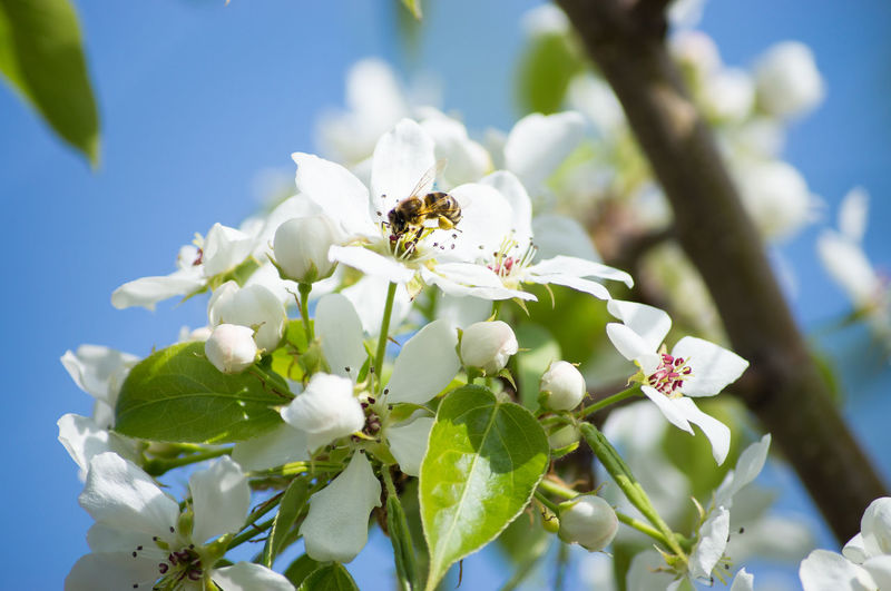 Flower Perching Flower Head Bee Springtime Insect Summer Pollination White Color Close-up Plant Life In Bloom Blossom Cherry Blossom Cherry Tree Apple Blossom Flowering Plant Botany Blooming Honey Bee