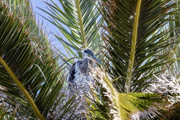great blue heron chick in nest Plant Tree Animal Wildlife Animal Themes One Animal Animal Palm Tree Bird Tropical Climate Leaf Vertebrate Palm Leaf Animals In The Wild Nature Growth Green Color Day No People Plant Part Outdoors Great Blue Heron In Water Chick Baby Bird Bird Nest