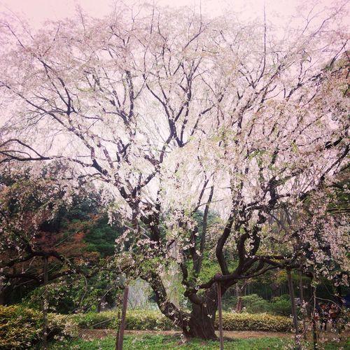 はじめまして Spring Flowers Cherry Blossoms First Eyeem Photo