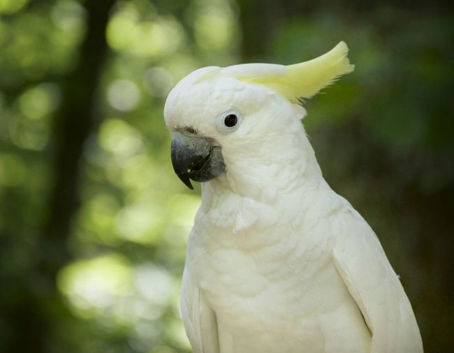 Bird Animal Themes Animal Animals In The Wild One Animal Cockatoo Animal Wildlife Portrait Close-up Budgerigar No People Nature Day Outdoors Adapted To The City Parrot Parrot Mountain USAtrip White Color Tropical Bird
