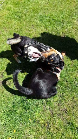 Playtime with Norma 🧡 Rottweiler Shiba Inu Dogs Of EyeEm Puppy Shiba Inu LOVE Black And Tan EyeEm Selects Pets Dog Shadow Sunlight Field High Angle View Black Color Relaxation Grass Green Color Canine Lawn Grass Area Grassland