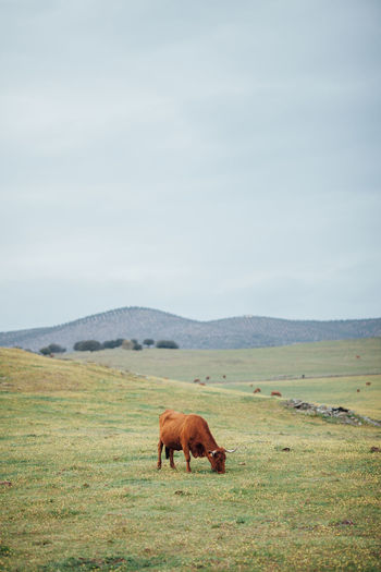 Agriculture Cows!!! Farm Farm Life Field Large Group Of Animals Livestock Agricultural Land Agriculture Photography Alentejo Animal Themes Cow Cows Cows In A Field Day Grass Landscape Livestyle Mammal Nature No People Outdoors Rural Scene