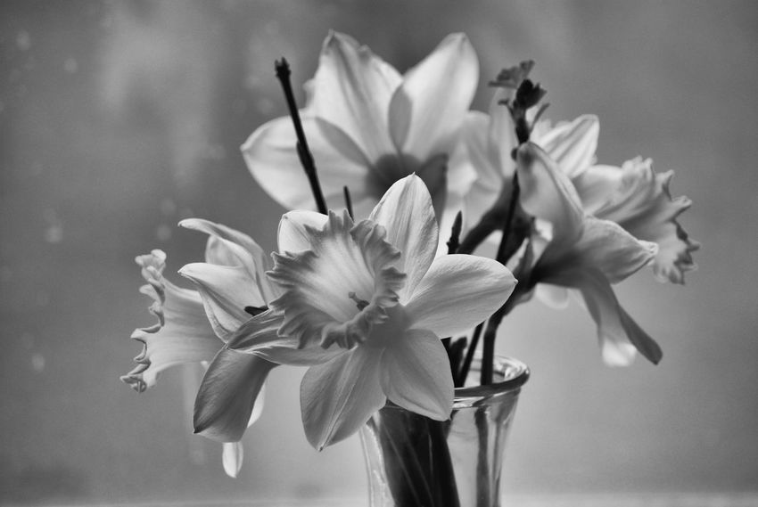 Bouquet Bunch Of Flowers Flower Vase Daffodils Daffodil Flower Flower Head Fragility Plant Flowerporn Growth Close-up Petal Beauty In Nature Freshness Springtime Spring Is Coming  Blackandwhite Monochrome Black And White B&w Bw Flowers In Vase Black & White Naturelovers Spring