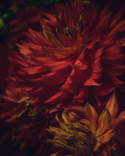 Dahlia Dahlia Flowers Dahlia Flower Background Backgrounds Flowering Plant Flower Plant Beauty In Nature Close-up Vulnerability  Growth Fragility Petal Flower Head Inflorescence Freshness Nature No People Red Day Backgrounds Full Frame Outdoors