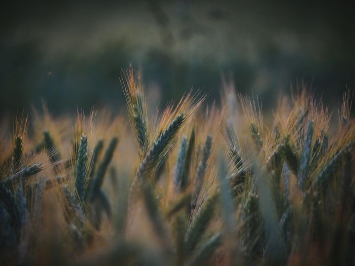 Nature Nature_collection Nature Photography Cereal Plant Close-up Plant Cultivated Land Ear Of Wheat Plantation Barley Agricultural Field Farmland Needle - Plant Part My Best Photo The Minimalist - 2019 EyeEm Awards