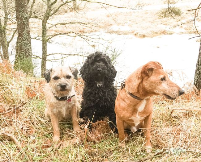 Molly Flora and Bertie Dogs Border Terrier Pets