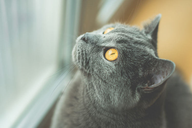 Close-Up Of Shorthair Cat