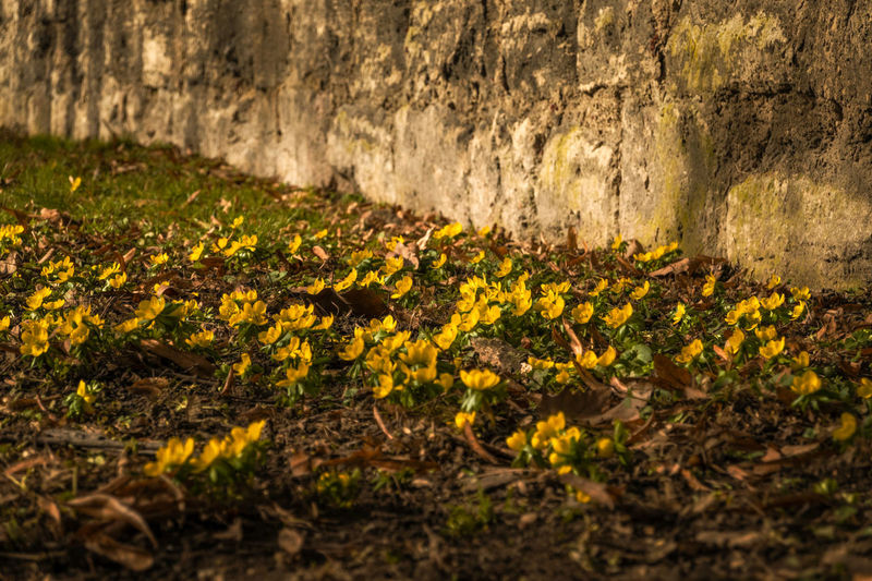 Close-up of yellow flowering plant on moss