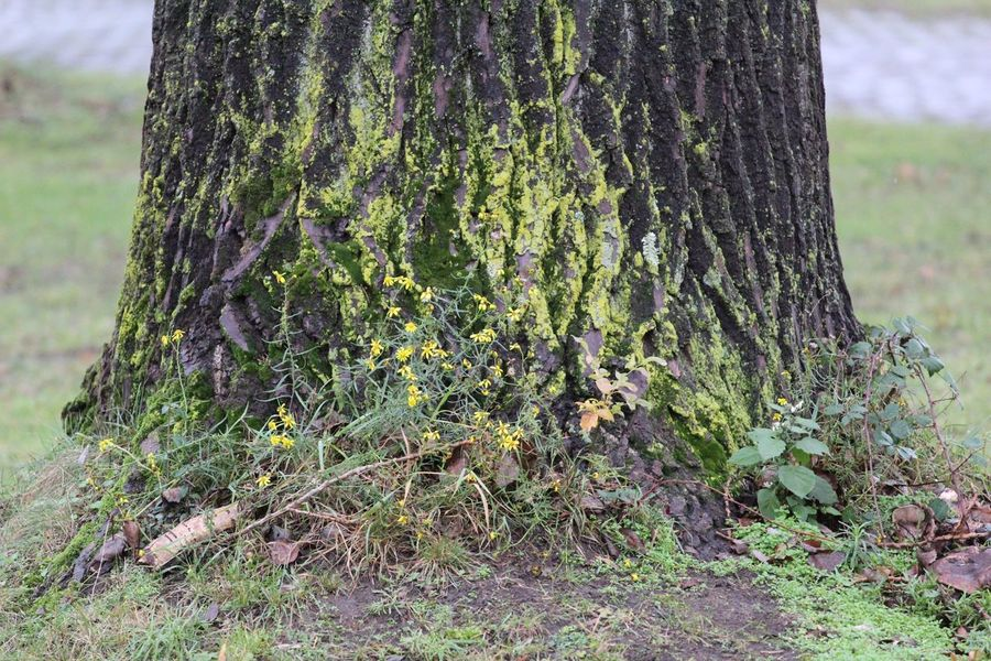 Tree Trunk Tree Nature Growth Day Outdoors Focus On Foreground No People Forest Tranquility Plant Ivy Lichen Close-up Beauty In Nature Grass Tree Herbst17 🦋 Autumn17 Beauty In Nature