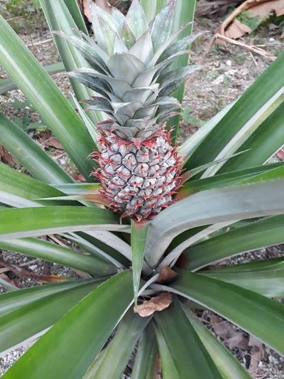 Pineapple on its plant Greenery Plants Pineapple Leaves. Small Pineapple Fresh Pineapple Pineapple From Plant Pineapple Pineapple🍍 Pineapples Pineapple Plant Pineapple Fruit Pineapple Head Pineapple Fields Pineappletart Pineapple Plantation PineappleHead Pineapple Tree Pineapple Leaf Pineapple Leaves Pineapple Farm Greenery Growth Growing Pineapple Pineapple Garden