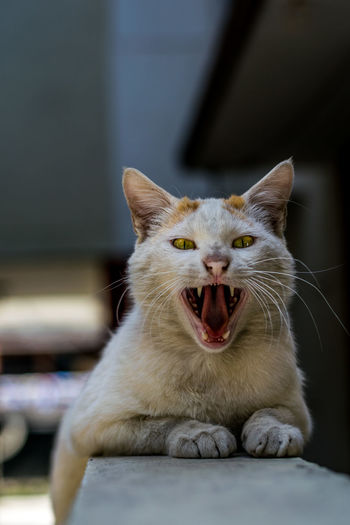 Cat Cats Cats Of EyeEm Cat Lovers Nikon 50mm F1.8 Pets Domestic Cat One Animal Mouth Open Animal Themes Yawning Domestic Animals Close-up Sitting Looking At Camera No People