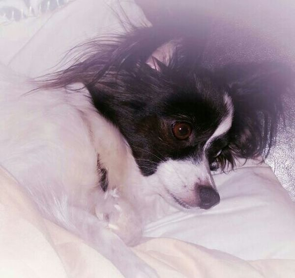 Miss Sophy resting after playing with the boys! I Love My Dog Papillion, Dog, Cute, Precious, Furry Papillon Its A Dogs Life Dogoftheday Dog Photography Dogmodel Dogs Of EyeEm My Photos ♥ Papillon Dog No People EyeEm Gallery Black And White Photography Eyeem Market Dog Close-up EyeEm Best Shots My Photography Eyeem Photography Welcome To Black Black And White Ankle Biter Lap Dog Dogslife My Dogs Are Cooler Than Your Kids Pet Portraits