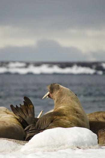 Walrus At Beach Against Sky