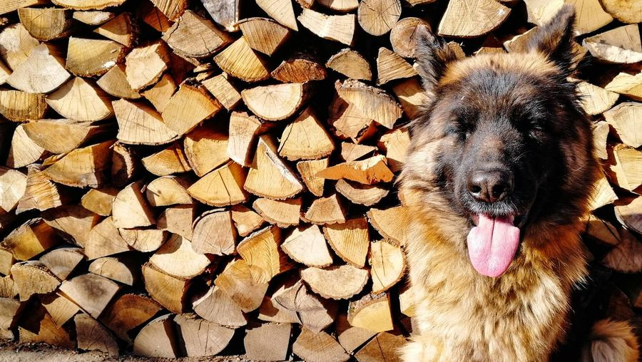 Close-up of dog on wooden logs