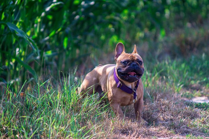 Sommer Französische Bulldogge  Hundefotografie Tierfotografie Hunde Dogs Of EyeEm EyEmselect Hundeportrait Düsseldorf Butsosexy Dogs Dogs Life Twerk #hundefoto EyeEm Selects Pets Portrait Dog Looking At Camera Summer Grass