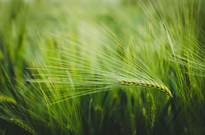 the wind that shakes the barley Nature Green Color Growth Freshness Plant Beauty In Nature Close-up Backgrounds Summer Springtime Fragility Outdoors Beauty Barley Barley Field Gerstenfeld Gerste Getreide Crop  Landwirtschaft Farming Dew Drops Summertime Summerfeeling Summer Vibes