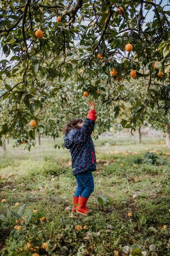 Full length of girl harvesting oranges from tree