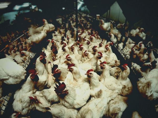 5000 chickens. Chicken Farm Chickens Farm Cheese! Vscocam That's Me Check This Out F2.8 Bird White