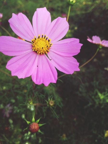 First Eyeem Photo Flowers,Plants & Garden Pink Flower 🌸 Nature Nature Lover Huaweip9lite Huaweiphotography Madewithphone