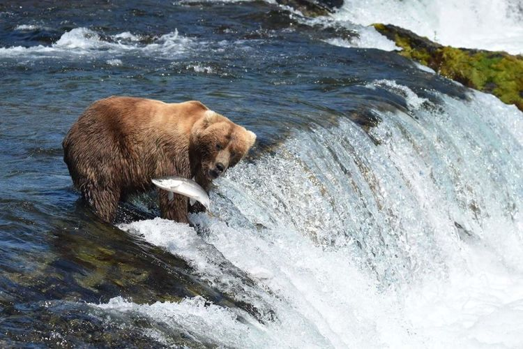 View Of Bear Catching Fish In River