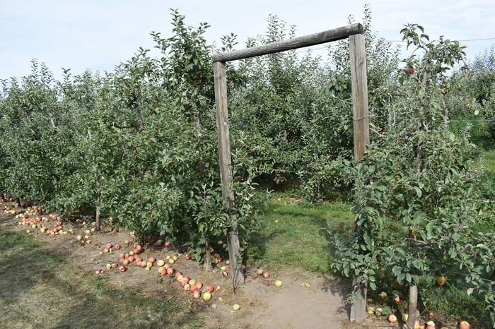 Pass through in the orchard. Apple Orchard Agriculture Apple Tree Apples Day Fruit Green Color Growth Nature No People Outdoors Pass Through Plant Sky Tree Wasted Food