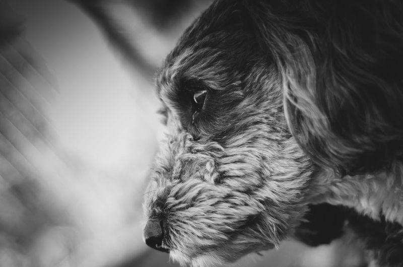 dog Puppy Bichon Havanais Bichon Hahabero Doggy Mascotas Dogs Byn Blackandwhite Pets Domestic Cat Portrait Close-up Animal Eye