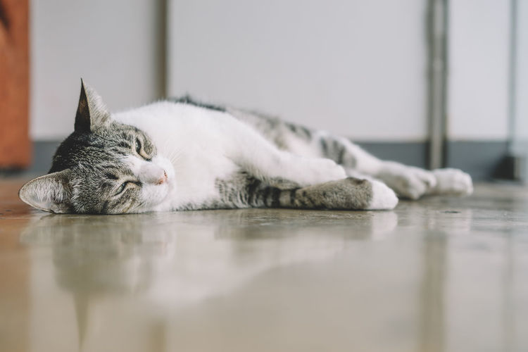 Animal Themes Cat Close-up Day Domestic Animals Domestic Cat Feline Indoors  Lying Down Mammal No People One Animal Pets Portrait Relaxation Selective Focus