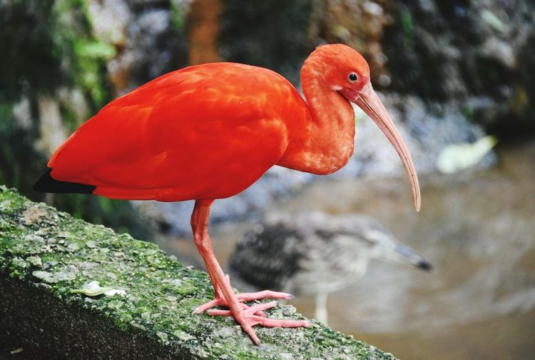 Side view of scarlet ibis perching on retaining wall