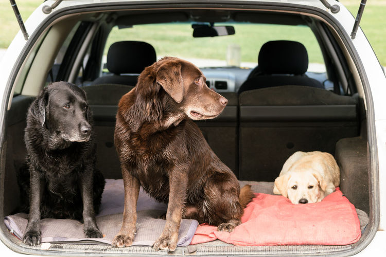 Three Labrador Retrievers sit in the back of a car and look to the right, with the puppy staring straight ahead at the camera. Animal Animal Themes Car Close-up Day Dog Domestic Animals Explore Labrador Labrador Retriever Land Vehicle Mammal No People Obedient Outdoors Pet Pets Puppy Rear Sitting Staring Three Animals Tired Transportation Updog Designs