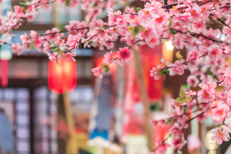 Close-up of pink flowers hanging on cherry blossom plant