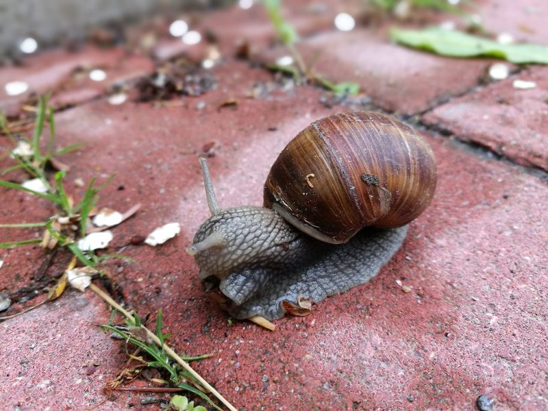 Burgundy Snail Weinbergschnecke Animal Animal Antenna Animal Body Part Animal Shell Animal Themes Animal Wildlife Animals In The Wild Close-up Day Edible Snail Escargot 🐌 Gastropod Helix Pomatia Invertebrate Mollusk Nature No People One Animal Outdoors Shell Snail
