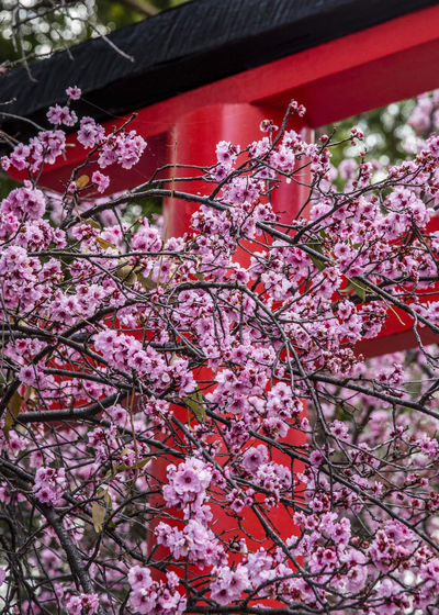 Pink cherry blossom tree. Blooming sakura tree branches, red gate in japanese garden. Beautiful Cherry Blossom Japan Japanese  Nature Plant Sakura Background Beauty In Nature Blooming Blossom Branch Color Flora Flower Garden Nature Outdoors Petal Pink Color Plant Red Gate Season  Sky Tree