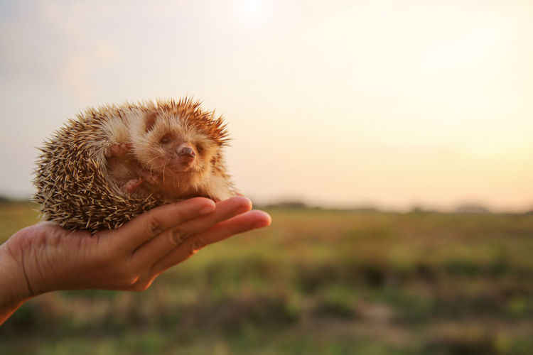 Human Limb Care Hands Cupped Finger Domestic Pets Body Part Nature Close-up Unrecognizable Person Real People Hedgehog Animal Wildlife Focus On Foreground Mammal One Animal One Person Human Body Part Holding Hand Human Hand