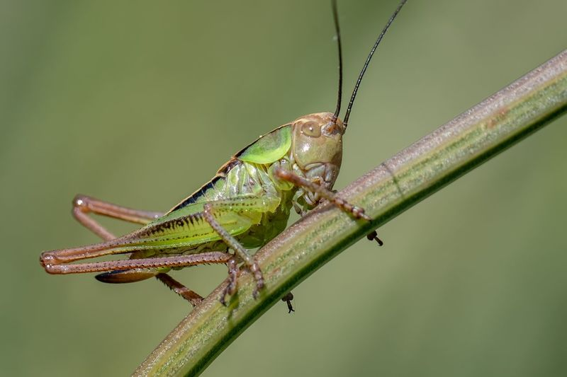 Spring Summer Nature Animal Themes Animals In The Wild Animal Wildlife Animal One Animal Insect Invertebrate Close-up Green Color Nature Grasshopper