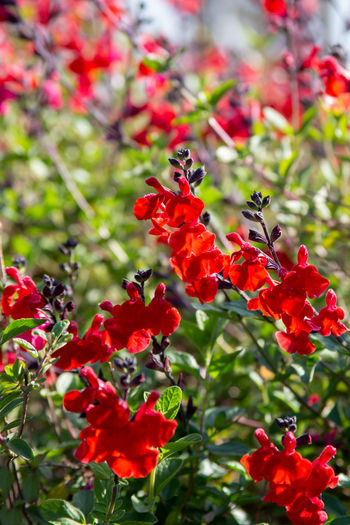 Beautiful red flower of Snapdragon, Bunny rabbits or Antirrhinum Majus in the flower garden on sunny spring day Flower Garden Red Antirrhinum Background Beautiful Beauty Bloom Blossom Color Floral Green Nature Petal Plant Snapdragon Summer Blooming Colorful Flora Fresh Leaf Natural Outdoor Spring Botany Closeup Season  Botanical Decorative Low Horticulture Common Snapdragon Antirrhinum Majus Seasonal Bed Majus Grow Annual Plant Annual Bright Botanic Organic Scrophulariaceae Growth Foliage Isolated Herb Gardening HEAD