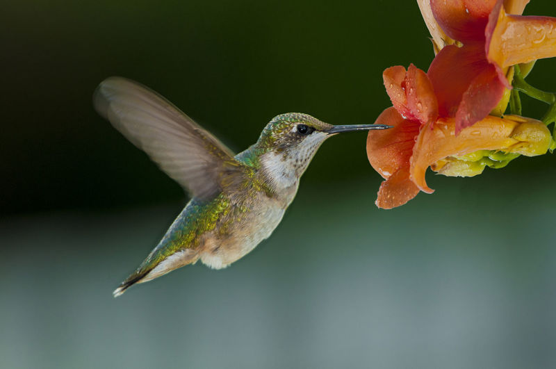 Hummingbirds Flowers Animal Themes Animals In The Wild Beauty In Nature Bird Close-up Day Flower Flower Head Flying Focus On Foreground Fragility Hummingbird Hummingbirds Mid-air Nature No People One Animal Outdoors Spread Wings