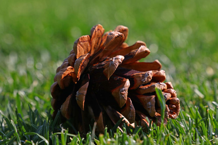 Close up big pine cone in green grass Grass Plant Close-up Nature Day Focus On Foreground No People Green Color Pine Cone Land Field Selective Focus Brown Growth Outdoors Sunlight Beauty In Nature Plant Part Surface Level Cone Copy Space Season