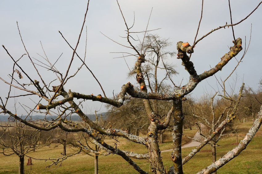 Tall Growing Fruit Trees Tall Growing Apple Trees Fruit Tree Cultivation Branches Twigs Apple Tree Pruning Branch No People Orchard Cultivation Pruned Branches Standard Fruit Garden Tree Winter Season